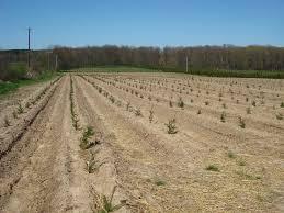 spring christmas tree planting at stokoe farms stokoe farms weblog