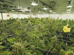 confessions of a beginner marijuana grower finding the right