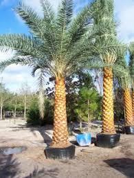 sylvester palm tree sale date palm dactylifera is a palm in the genus