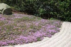 wengerlawn nursery co products ground covers