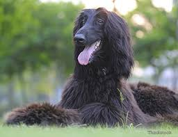 afghan hound arizona the afghan hound