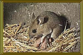 Are Mice Blind Woodmouse
