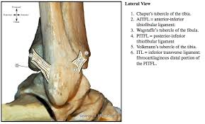 Talus Ligaments Ankle Anatomy Eorif