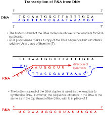 rna transcription lessons tes teach