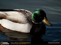 mallard duck picture mallard duck desktop wallpaper free