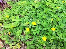 best ground cover plants for lawn peanut plant and carabao grass