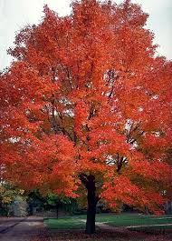 Good Backyard Trees by Best 25 Maple Tree Ideas On Pinterest Landscaping Trees