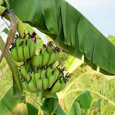 grand nain naine banana trees for sale fast growing trees