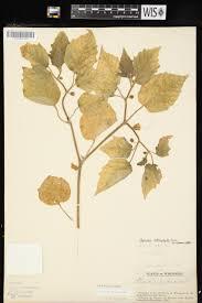 plants native to wisconsin online virtual flora of wisconsin physalis heterophylla