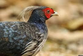 khaleej pheasant gururaj moorching jpg 1162 794 galliformes