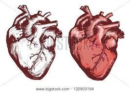human heart images illustrations vectors human heart stock