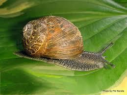 Types Of Garden Snails T E R R A I N Taranaki Educational Resource Research Analysis