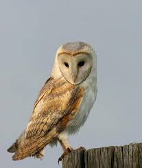 What Does A Barn Owl Look Like Said The Gramophone Tyto Alba