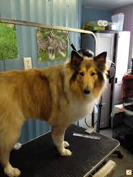 affenpinscher shaved problems with rough collie need help or advice page 2