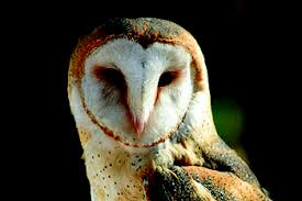 Scientific Name Of Barn Owl Barn Owl Recovery Strategy Ontario Ca