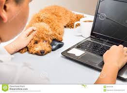 cute poodle puppy accompany person working with laptop computer on