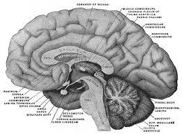 Anatomy The Human Body Ix Neurology 4c The Fore Brain Or Prosencephalon Gray Henry