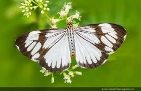 butterflies and moths indian wildlife photographer butterflies