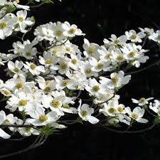 best 25 white blossom tree ideas on white cherry