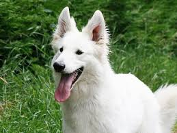 american eskimo dog short hair white dog breeds list