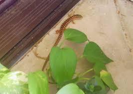 morris fascinating san jose u0027porch u0027 lizard is bay area native