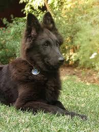 belgian sheepdog hound belgian sheepdogs