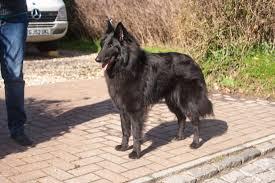 belgian sheepdog groenendael rescue news niavana belgian shepherds