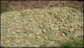 grow potatoes with a hay bale garden diy projects for everyone