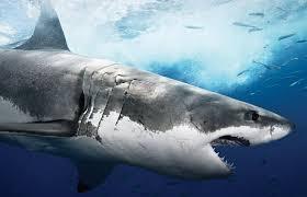 shark ocean animals sharks images cartoon hd 16 9 high
