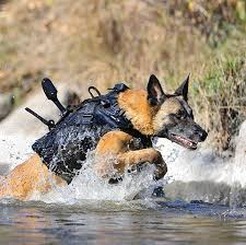 belgian malinois vest these tech savvy military dogs will kill you with cuteness