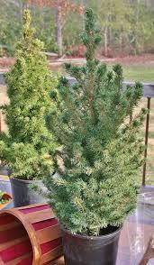 planting a miniature tree dengarden