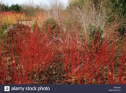 cornus alba u0027sibirica u0027 anglesey abbey garden gardens