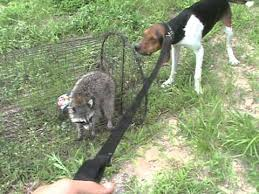 bluetick coonhound exercise coonhound training outlaw on live coon youtube