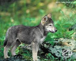 Wyoming wild animals images 10 wolf pups slaughtered in wyoming by wildlife services shame on jpg