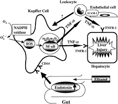 icam 1 is involved in the mechanism of alcohol induced liver