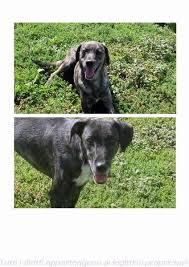 cani in cerca di casa boston e cuccioloni in cerca di casa aidae regalo cani