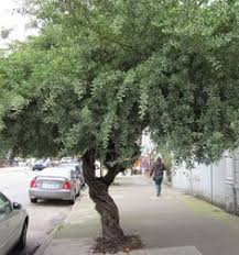 size picture of australian willow myrtle peppermint tree