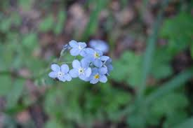 tiny forget me not flowers all the trails yelp