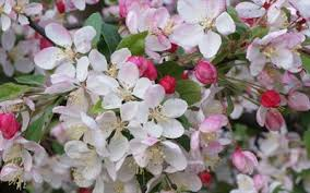 Profusion Flowering Crabapple - how to choose a crab apple tree for your garden