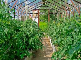 greenhouse for vegetable garden tomatoes in greenhouse growing tomatoes in a greenhouse