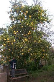 bush lemon tree tree citrus limon