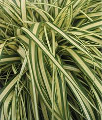carex evergold ornamental grass at burpee