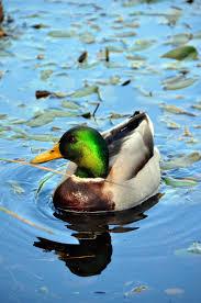file duck swimming 5111962180 jpg wikimedia commons