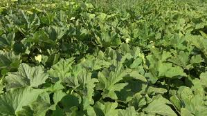 colorado potato beetle larvae eat green leaves of potatoes plants