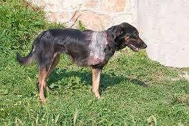 bluetick coonhound cost leg deformity in dogs symptoms causes diagnosis treatment
