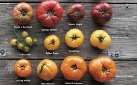 Types Of Patio Tomatoes Meet The Tomato Expert Who Knows The Best Varieties For You