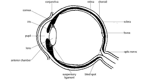 Eye Anatomy And Physiology Anatomy And Physiology Of Animals The Senses Wikibooks Open