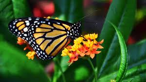 monarch butterfly wallpaper mobile u0026 desktop background