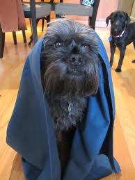 affenpinscher reviews the perfect dog owner u0027s towel shandali ultrasport travel towel