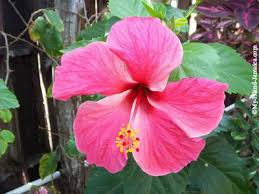 jamaica flower beautiful jamaican flower embarrassing moment